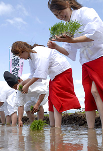 juken rice planting