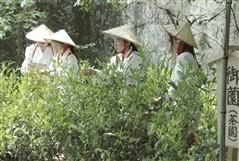 shizuoka tea picking